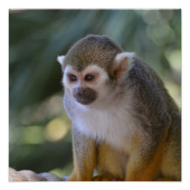 Amazing Squirrel Monkey Poster