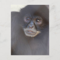 Black Spider Monkey  Postcard