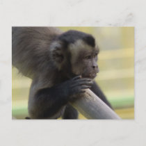 Tufted Capuchin Monkey Postcard